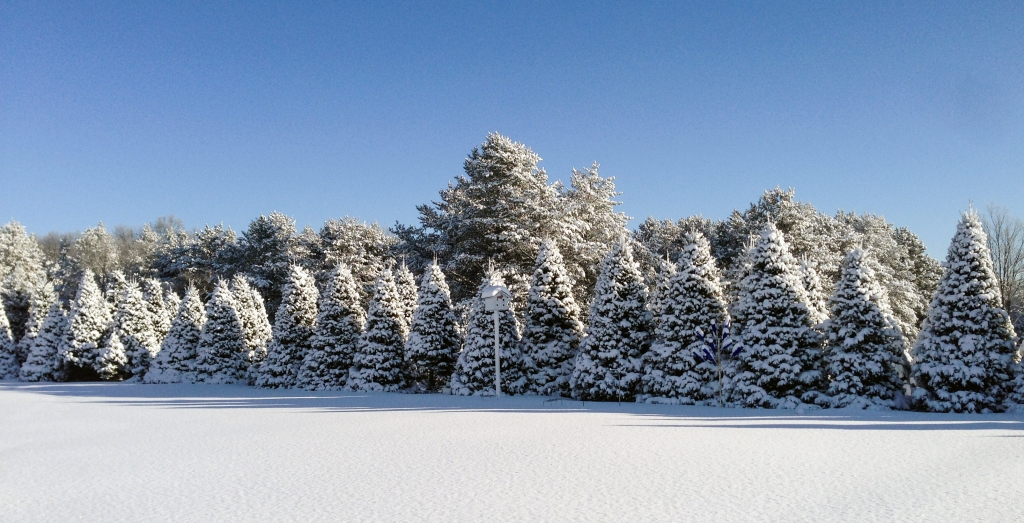 Fresh snowfall on beautiful evergreen trees in Wisconsin.