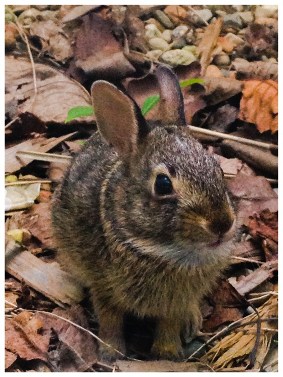 A baby bunny that had fallen in our egress window well.