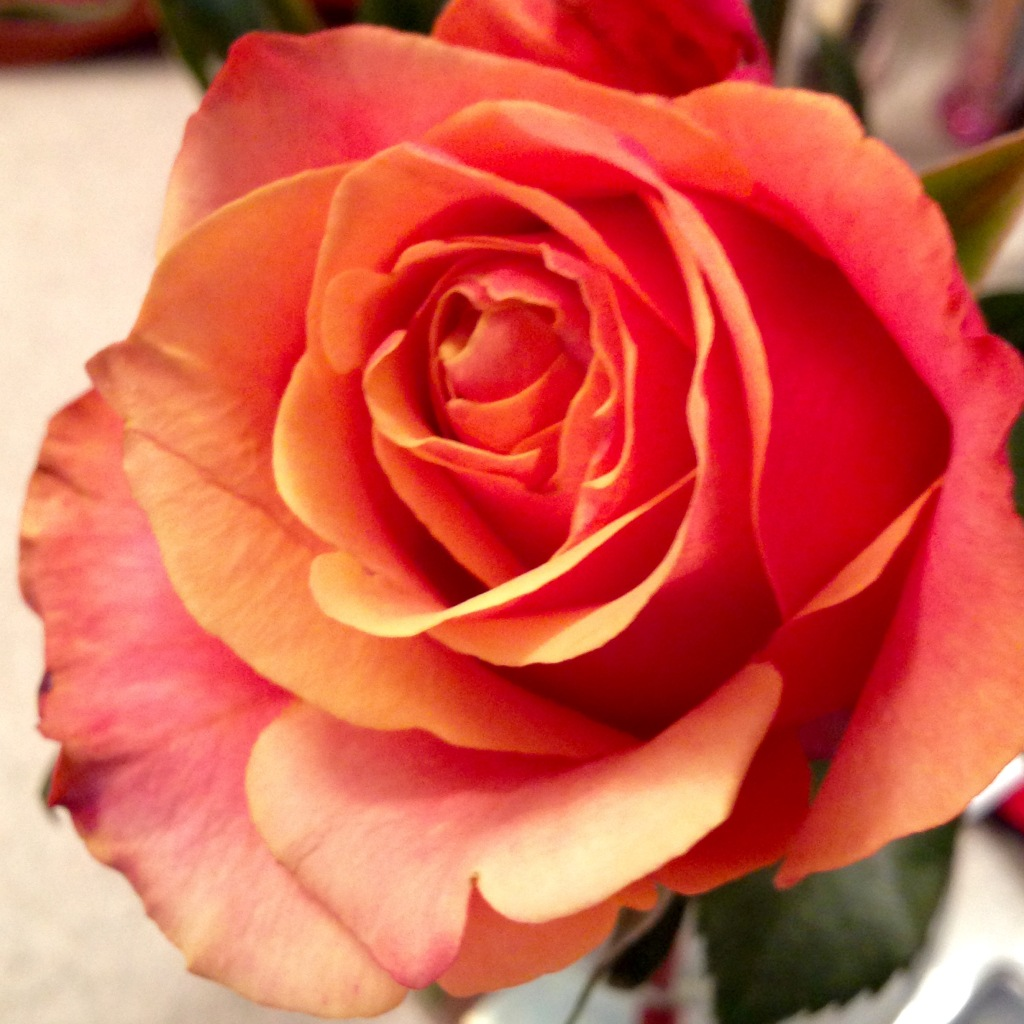 Rose of many colors.