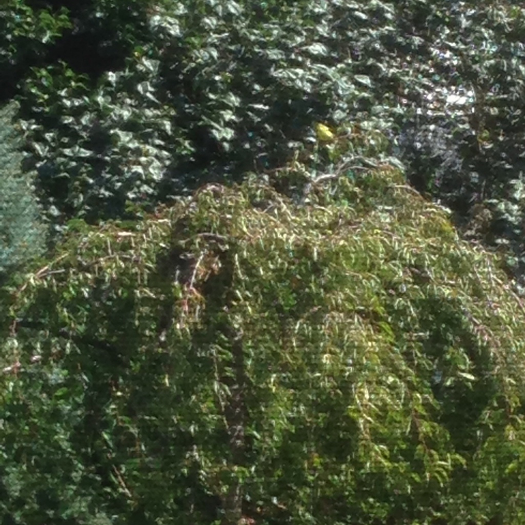 The pop of yellow atop the tree is the bird (viewed thru tent netting).